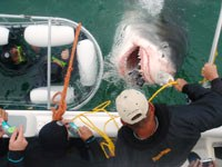 Great White Shark Diving Gansbaai Cape Town