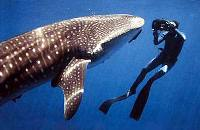 Cameraman Whale Shark close up